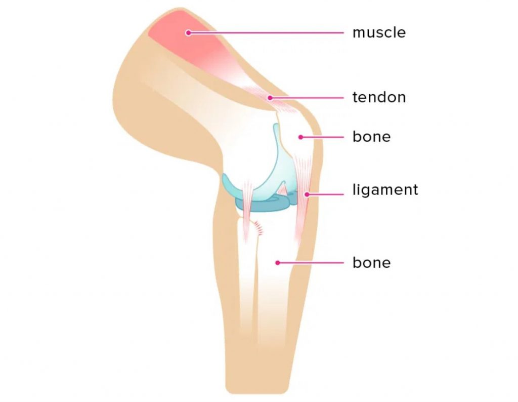 what is a tendon
